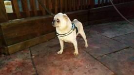 Selection of Quality Pug Boys Chinchilla & White