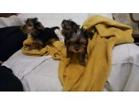 4 Yorkshire Puppies for sale £400