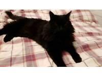 Missing long haired black cat, Eye, Peterborough