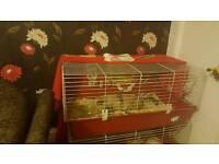 2 male INDOOR rabbits