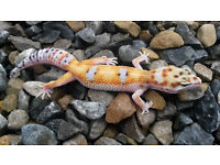 Leopard geckso for sale