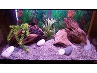 Fluval Roma 125L fish tank/aquarium full set up