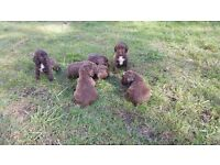 Gorgeous Sprocker Pups For Sale