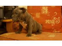 American Bully pupps for sale