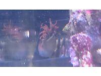 Bubble tip anemone (Quadricolour, Tank split)