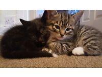1Female Kitten