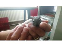 Degus free to good home