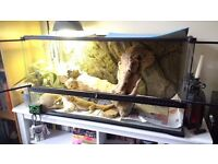 Bearded Dragon and FULL terrarium set-up included