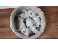 Registered GCCF Full Pedigree Ragdoll Kittens Pure