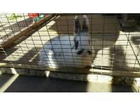 Baby mini lop Netherland dwarf bunnies