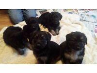 For sale 3/4 german shepherd 1/4 spaniel puppies 4 boys left
