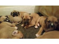 Mastiff Puppies.