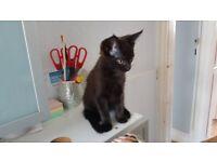 Black Cute Kitten for sale