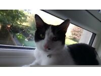 6month old male grey black and white kitten to good home