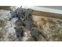 Blue sharpei puppy