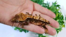 Female Crested Gecko