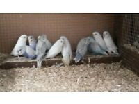 RECENTLY FLEDGED BABY BUDGIES FOR SALE - EASY TO TAME - SWANSEA