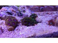 Marine aquarium zoa frag the joker