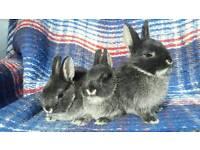 Pure bred Netherland Dwarf Bunnies