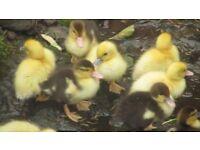 Muscovi ducks for sale