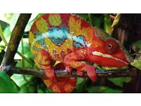 Ambilobe Panther Chameleons £100
