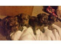 Beautiful maltese terrier cross torkshire terrier pups.4 weeks old now £50 non refjndable deposit