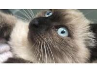Only one left! Beautiful fluffy pure Siamese kitten