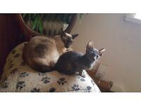 Oriental kitten's