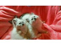 Blue Ragdoll Kittens