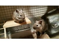 A pair of very friendly 1yr old degu boys with custom made cage for sale at SE13 London £150