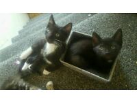 Black and white bengale cross kittens