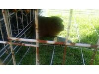 GUINEA PIG FREE TO A GOOD HOME