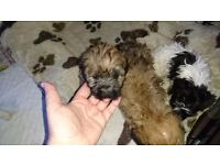 Puppies shorkie girl none malting