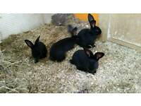 Giant Black Papillon bunnies