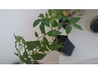 Tomato Plants - Beef Red, Beef Rose and Cherry