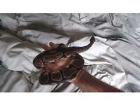 Royal Python & set up (vivarium, heat mat etc), great strike feeder £70, offers welcome