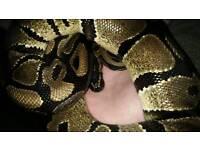 Royal Python to a Good home