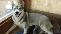 chiots husky à vendre