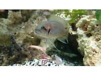 Neolamprologus Brichardi Fairy Cichlids
