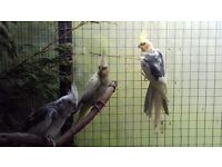 Adult aviary Cockatiel Pairs For Sale