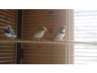Zebra finches for sale 2x male and female
