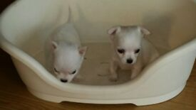 Pedigree chihuahua white puppies for sale