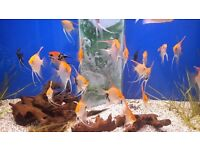 Various angelfish for sale