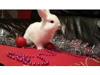 4 Baby Netherland Dwarf x Mini lop bunnies for sale