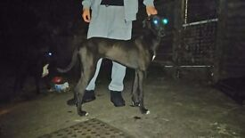 Greyhound x saluki greyhound