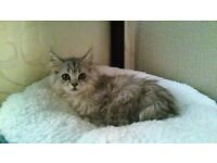 Three-month Female Maine Coon X Persian Chinchilla