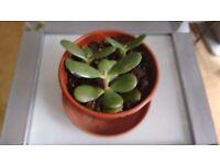 MONEY plant- indoor plant