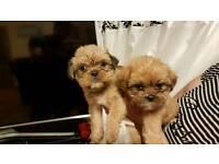 Shih Tzu X Yorkshire Terrier Puppy's