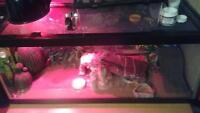 2 geckos with cage, lights, decorations