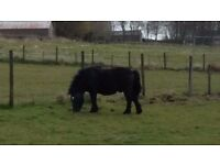 Shetland pony Stallion 8years old pedigree, member of the pony club. Free to good home